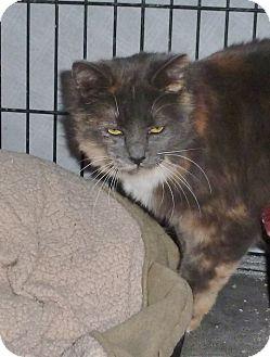 Domestic Longhair Cat for adoption in Pueblo West, Colorado - Nikka