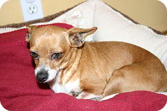 Chihuahua Mix Dog for adoption in Corona, California - Precious Toy Sweetheart Saved