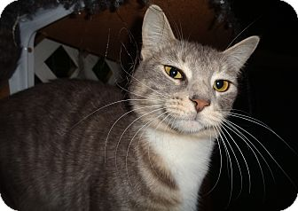 Domestic Mediumhair Cat for adoption in Sumter, South Carolina - SHIRLEY