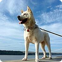 Adopt A Pet :: Muse - West New York, NJ