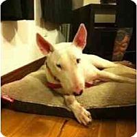 Adopt A Pet :: Sadie - New York, NY