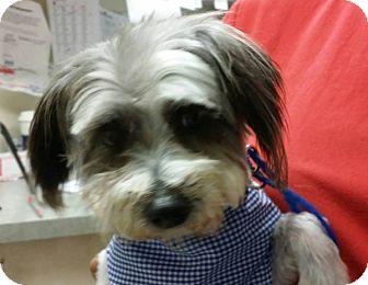 Shih Tzu Mix Dog for adoption in Las Vegas, Nevada - Bailey