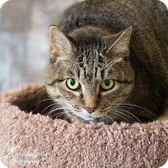 Domestic Mediumhair Cat for adoption in Greenville, Illinois - Mamacita