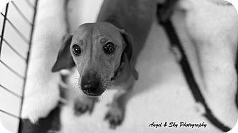 Dachshund Dog for adoption in Fort Riley, Kansas - Napoleon