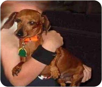 Dachshund Dog for adoption in Cincinnati, Ohio - SuzieQ