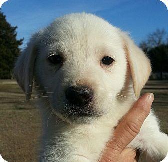 Labrador Retriever/German Shepherd Dog Mix Puppy for adoption in Westport, Connecticut - Eddie