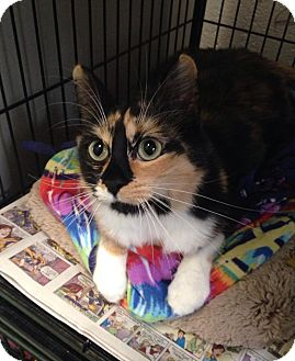 Domestic Shorthair Cat for adoption in North Kingstown, Rhode Island - Athena