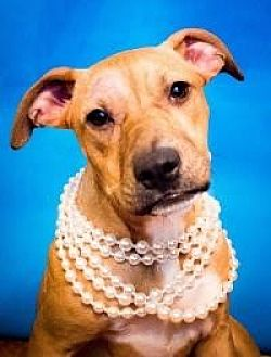 Labrador Retriever/Terrier (Unknown Type, Medium) Mix Dog for adoption in Kingwood, Texas - Luna