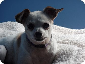 Chihuahua Dog for adoption in Haggerstown, Maryland - Roofus