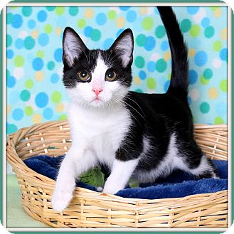 Domestic Shorthair Cat for adoption in Glendale, Arizona - Cricket