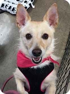Corgi/Cairn Terrier Mix Dog for adoption in Phoenix, Arizona - Lady Lou