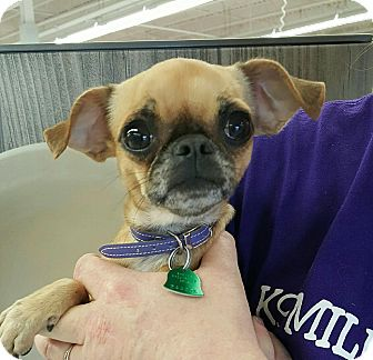 Pug/Chihuahua Mix Dog for adoption in Hurst, Texas - Minnie