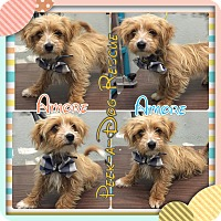 Adopt A Pet :: Amore - South Gate, CA