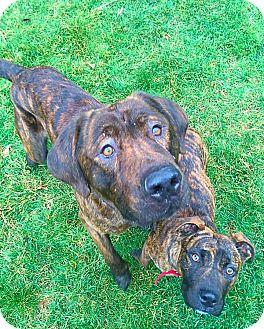 Mastiff Mix Dog for adoption in Sharon Center, Ohio - Rambo