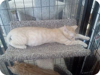Domestic Shorthair Kitten for adoption in Glendale, Arizona - Dante