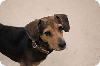 Beagle/Manchester Terrier Mix Dog for adoption in Indianapolis, Indiana - Newton
