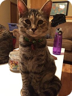 Domestic Shorthair Cat for adoption in Hesperia, California - Analea (playful & sweet!)