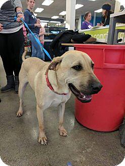 Labrador Retriever Mix Dog for adoption in Olympia, Washington - Jeff