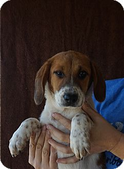 Beagle/Treeing Walker Coonhound Mix Puppy for adoption in Oviedo, Florida - Cara
