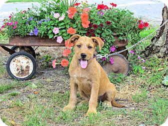 Terrier (Unknown Type, Medium) Mix Puppy for adoption in Hartford, Connecticut - SANDIE
