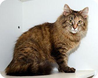 Domestic Mediumhair Cat for adoption in Salt Lake City, Utah - Louisa