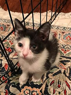Domestic Shorthair Cat for adoption in Mobile, Alabama - Demi