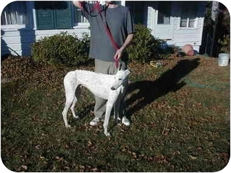 Greyhound Dog for adoption in Montgomery, Alabama - Tbo's Mule