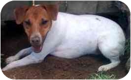 Jack Russell Terrier Dog for adoption in Portsmouth, Rhode Island - JakJak