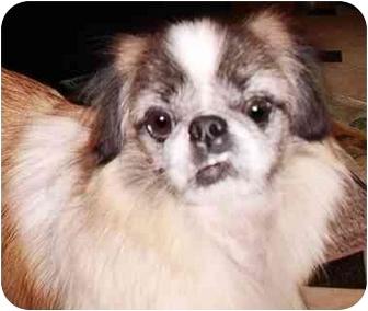 Pekingese Mix Dog for adoption in Edmeston, New York - Candy-NY