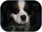 Cavalier King Charles Spaniel Puppy for adoption in North Benton, Ohio - Pete