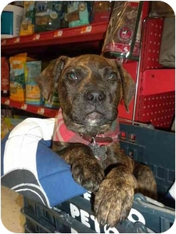 American Pit Bull Terrier Mix Puppy for adoption in Detroit, Michigan - Moe-Pending