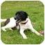 Photo 2 - Labrador Retriever/Spaniel (Unknown Type) Mix Dog for adoption in Mocksville, North Carolina - Josh