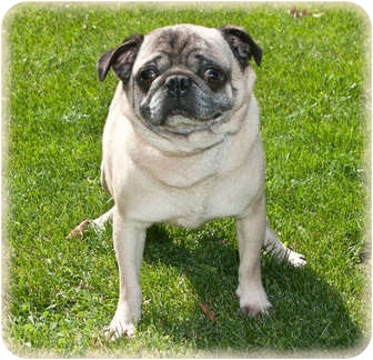 Pug Dog for adoption in Howell, Michigan - Derrick