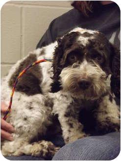 Cocker Spaniel Mix Dog for adoption in Defiance, Ohio - Ollie