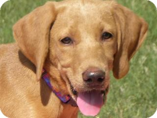 Labrador Retriever Mix Puppy for adoption in Lewisville, Indiana - Anna Grace