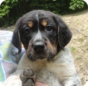 Bluetick Coonhound Mix Puppy for adoption in Spruce Pine, North Carolina - Melvin