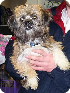Brussels Griffon Mix Dog for adoption in Somerset, Pennsylvania - Lucy