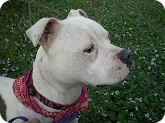 American Pit Bull Terrier/Boxer Mix Dog for adoption in Killen, Alabama - Duchess