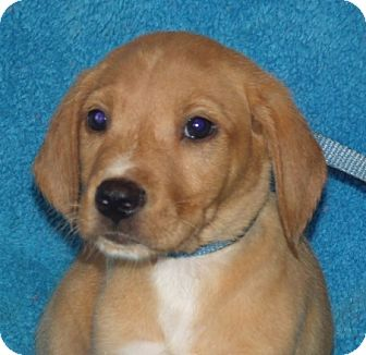 Labrador Retriever Mix Puppy for adoption in Phillips, Wisconsin - Al