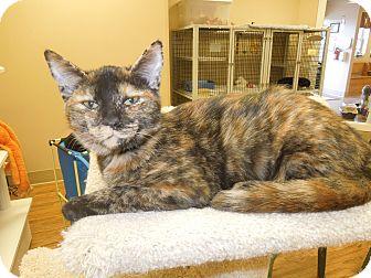 Domestic Shorthair Cat for adoption in Medina, Ohio - Zuma