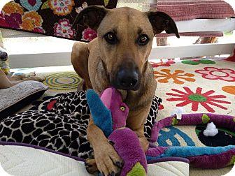 Rhodesian Ridgeback/German Shepherd Dog Mix Dog for adoption in Homestead, Florida - Stella