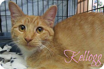 Domestic Shorthair Cat for adoption in Menomonie, Wisconsin - Kellogg