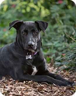 Labrador Retriever/Black Mouth Cur Mix Dog for adoption in Baytown, Texas - Hope