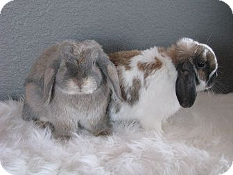 Lop, Holland for adoption in Watauga, Texas - Jojo & Olivia