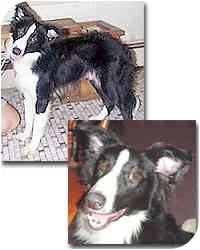 Border Collie Dog for adoption in Stephentown, New York - Scout