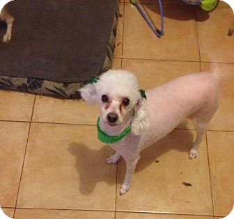 Poodle (Miniature) Dog for adoption in San Diego, California - Julie