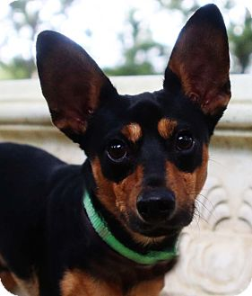 Dachshund/Chihuahua Mix Dog for adoption in Gainesville, Florida - Jorah