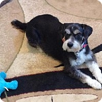 Standard Schnauzer/Sheltie, Shetland Sheepdog Mix Dog for adoption in Lenoir, North Carolina - RASCAL (SRC#1602) IN SC--RETIRED TO FOSTER HOME