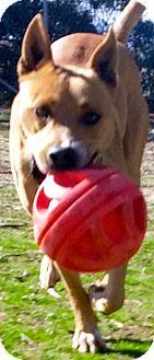 Rhodesian Ridgeback/American Pit Bull Terrier Mix Dog for adoption in Studio City, California - LINUS