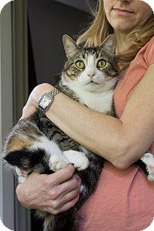 Domestic Shorthair Cat for adoption in Houston, Texas - Goober